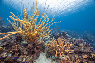 Seascape of variety of soft coral, Curacaoの写真素材 [FYI03620408]