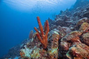 Seascape of variety of soft coral, Curacaoの写真素材 [FYI03620410]