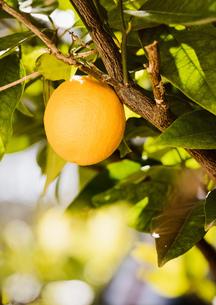 Lemon on treeの写真素材 [FYI03620771]