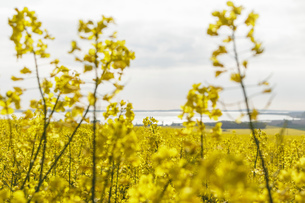View of lake beyond field of oil seed rape, Germany, Pennsylvania, USAの写真素材 [FYI03621029]