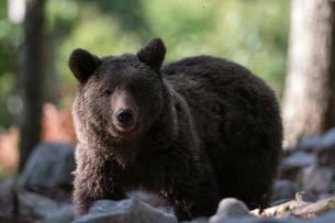 European brown bear (Ursus arctos), portrait, Notranjska forest, Sloveniaの写真素材 [FYI03622194]