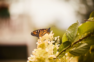 Monarch butterfly perched on flowerの写真素材 [FYI03622356]