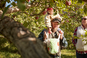Father and daughter picking apples from treeの写真素材 [FYI03622373]