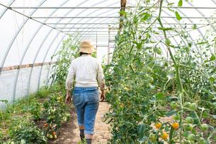 Mature female gardener walking down polytunnel, rear viewの写真素材 [FYI03622418]