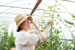 Mature female gardener looking at tomato plants in polytunnelの写真素材 [FYI03622419]