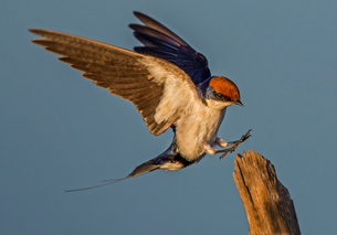 Wire-tailed swallow about to land on fencepost, side view, Kruger National park, South Africaの写真素材 [FYI03622527]