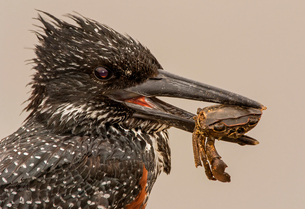 Giant kingfisher with crab in beak, side view close up, Kruger National Park, South Africaの写真素材 [FYI03622530]