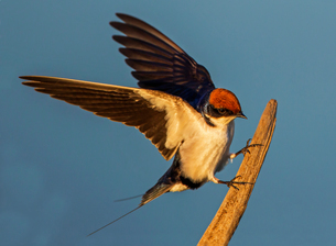 Wire-tailed swallow landing on fencepost, side view, Kruger National park, South Africaの写真素材 [FYI03622547]