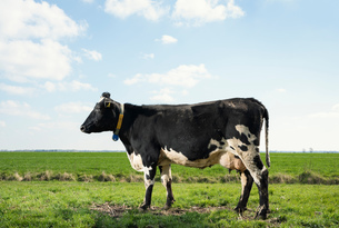 Cow in pasture in spring, animal portrait, Wyns, Friesland, Netherlandsの写真素材 [FYI03622685]