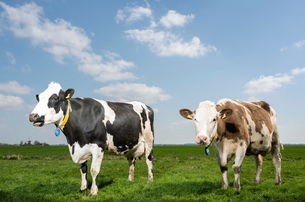 Two cows in pasture in spring, animal portrait, Wyns, Friesland, Netherlandsの写真素材 [FYI03622689]