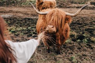 Woman feeding Highland cattle, Trossachs National Park, Canadaの写真素材 [FYI03623823]