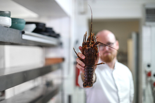 Chef holding up lobster in kitchenの写真素材 [FYI03624473]