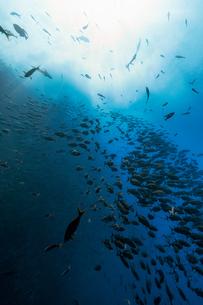 Shoal of fish, Revillagigedo Islands, Socorro, Baja California, Mexicoの写真素材 [FYI03624628]