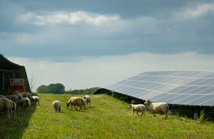 Sheep grazing mustard plants at solar farm, Geldermalsen, Gelderland, Netherlandsの写真素材 [FYI03625131]