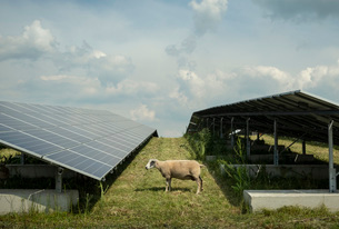 Sheep grazing mustard plants at solar farm, Geldermalsen, Gelderland, Netherlandsの写真素材 [FYI03625132]