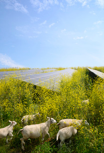Sheep grazing mustard plants at solar farm, Geldermalsen, Gelderland, Netherlandsの写真素材 [FYI03625133]