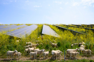 Sheep grazing mustard plants at solar farm, Geldermalsen, Gelderland, Netherlandsの写真素材 [FYI03625134]