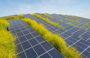 Solar panels surrounded by mustard plants at solar farm, Geldermalsen, Gelderland, Netherlandsの写真素材 [FYI03625136]