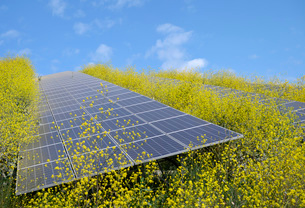 Solar panels surrounded by mustard plants at solar farm, Geldermalsen, Gelderland, Netherlandsの写真素材 [FYI03625142]