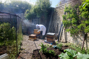 Male beekeeper tending beehive in walled gardenの写真素材 [FYI03625488]