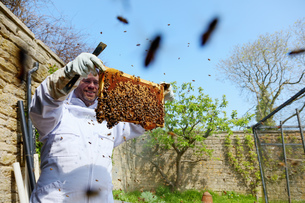 Male beekeeper inspecting honeycomb frame in walled gardenの写真素材 [FYI03625491]