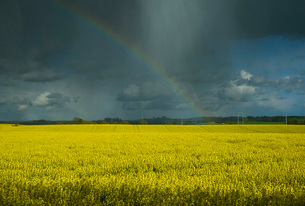 Heavy showers and rainbow over rape fields in Swedish countryside in spring, Lilla Upp?kra, Skane Laの写真素材 [FYI03625737]