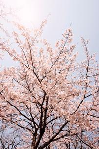 Cherry blossomsの写真素材 [FYI03626150]