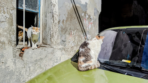 Cat looking at windscreen, other cats at window of house, Istanbul, Turkeyの写真素材 [FYI03626165]