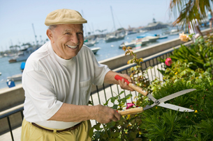 Senior man clipping hedgeの写真素材 [FYI03627357]