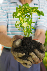 Senior man holding seedling in garden  close-up of plantの写真素材 [FYI03627377]