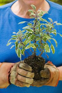 Senior man holding seedling in garden  close-up of plantの写真素材 [FYI03627382]