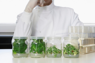 Four glass jars containing plant material  lab worker behiの写真素材 [FYI03630303]