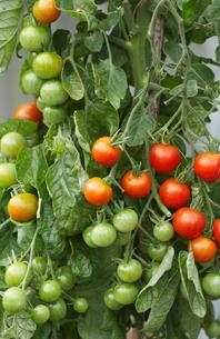 Ripening Tomato Plantの写真素材 [FYI03630627]