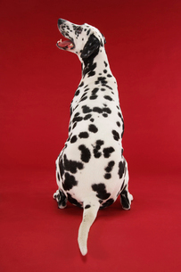 Dalmatian sitting  looking up  back viewの写真素材 [FYI03630879]