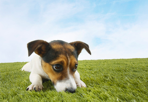 Jack Russell terrier lying prone in grass  front viewの写真素材 [FYI03630904]