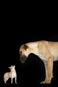 Great Dane and Chihuahua standing looking at each otherの写真素材 [FYI03630935]