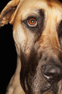 Brazilian mastiff (Fila Brasileiro)  close-upの写真素材 [FYI03630939]