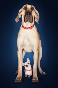 Brazilian mastiff (Fila brasileiro) standing over Chihuahuの写真素材 [FYI03630943]