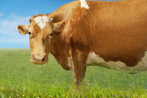 Brown cow in field  side viewの写真素材 [FYI03631224]