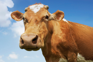Close-up low angle view of brown cow against blue skyの写真素材 [FYI03631234]
