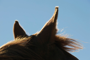 Brown horse against sky  close-up of earsの写真素材 [FYI03631247]