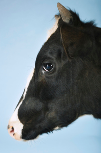 Cow against blue background  close-up of head  side viewの写真素材 [FYI03631259]