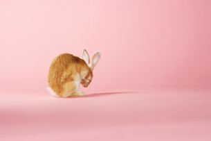 Rabbit grooming on pink backgroundの写真素材 [FYI03631283]