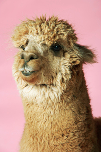 Alpaca on pink background  close-up of headの写真素材 [FYI03631307]