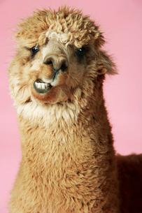Alpaca on pink background  close-up of headの写真素材 [FYI03631309]