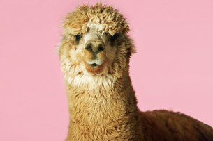 Alpaca on pink background  close-up of head  front viewの写真素材 [FYI03631310]