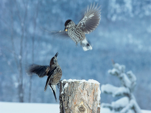 Two birds fighting for food in winterの写真素材 [FYI03631366]