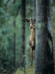 Young red deer stag peeking from behind treeの写真素材 [FYI03631370]