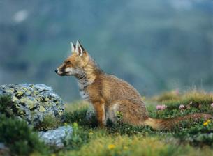 Fox on mountain passの写真素材 [FYI03631384]
