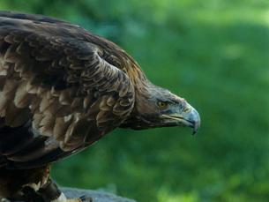 Eagle  profileの写真素材 [FYI03631392]